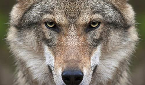 WACYDSD Malen Nach Zahlen Wolf Gesicht DIY Einzigartiges Geschenk Handgemaltes Ölgemälde Für Hauptwanddekor Kunstwerke Frameless (Wolf Gesicht Malen)
