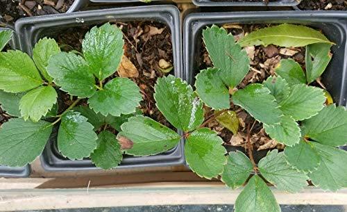 Generic SAMEN: Frisch geerntete Kiefernpflanzen