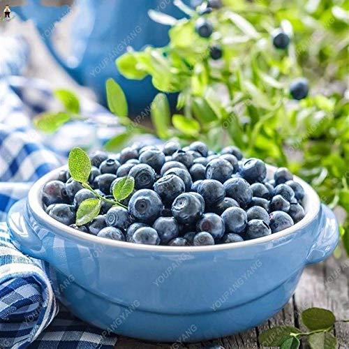 pinkdose 50pcs blueberry bonsai fruit tree highbush mirtilli diy piante di corteccia di giardino per giardino facile da coltivare per la decorazione invernale: chiaro
