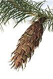 Douglasie Pseudotsuga menziesii 80 Samen