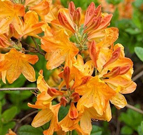 Azalee Annabella 50-60cm – Rhododendron luteum – Alpenrose