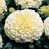 #10: African Marigold F1 Hybrid White Vanilla Flower Seeds for Home and Balcony Gardening with Free 100 Gm Agropeat (Plant Growth Booster) washed and treated Peat provides complete nutritional supplement and improves soil health for sustainable growth of crop plants.