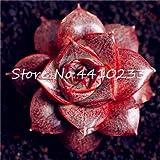 Bloom Green Co. Best-Vendita di 100 Pz Cactus Bonsai, Echeveria Purpusorum Bonsai Fresca Coperta Pianta grassa casa Rock Garden Splendida Rotonda Leaf: f