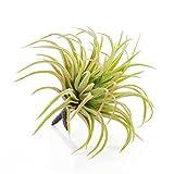 artplants Set 3 x künstliche Tillandsia Rubra Penny, grün-rot, 12 cm - Deko Bromelie/Tillandsien