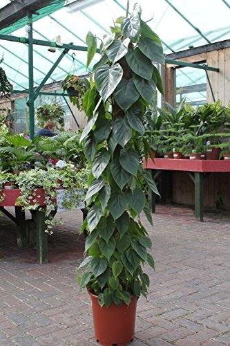 Zimmerpflanze für Wohnraum oder Büro - Philodendron scandens - Kletterphilodendron- 1.4M