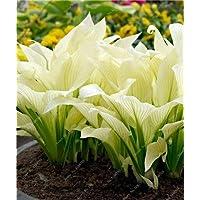 prime vista Bonsai 100 Piezas Mixtas Hosta Bonsai Jardin Perennes Lily Lily Pot Bonsai White Lace DIY Home Garden Planta de Jardãn de la Tierra: c