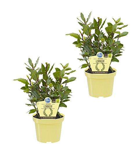 Dominik Blumen und Pflanzen, Bio-Kräuter Gewürzlorbeer, 2 Pflanzen, 12 cm Topf, 10 - 20 cm hoch (Pflanzung Kräuter-töpfe)