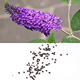 TOPmountain Schmetterlings-Bush-Samen 50 Stück Buddleias Davidii Samen Garten Balkon Pflanzen Samen Dekor