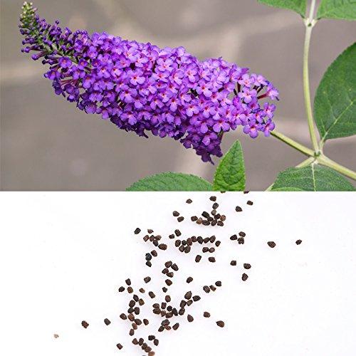 Rosepoem 50 couleurs mélangées Graines de Buddleia Papillon Bush Davidii Papillon hybride