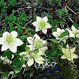Fash Lady 50 stücke Clematis Samen Terrasse Und Garten Balkon Topfpflanzen Grün Clematis Kletterpflanze DIY