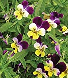 Premier Seeds Direct VLA01F Viola Helens Mount Johnny Jump Up Seeds (Pack of 800)