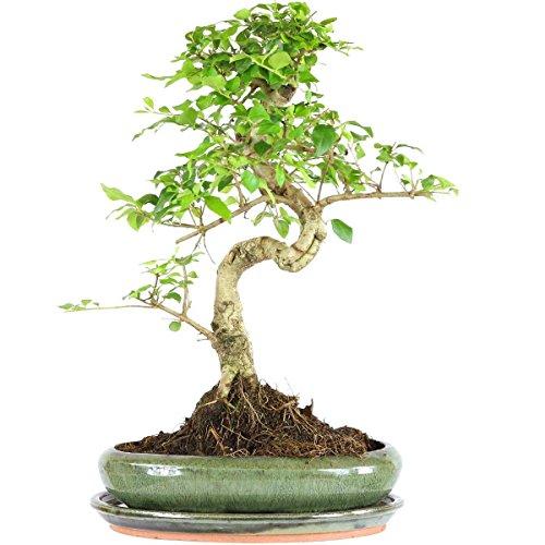 ligustro-cinese-bonsai-9-anni-37cm