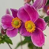 lichtnelke - Herbst-Anemone (Anemone hupehensis) Pretty Lady Susan