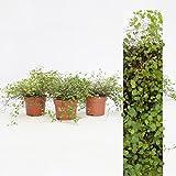 Inter Flower - 3 Pflanze Mühlenbeckia (Muehlenbeckia axillaris) trittfest + winterfest + Teppich + rankt
