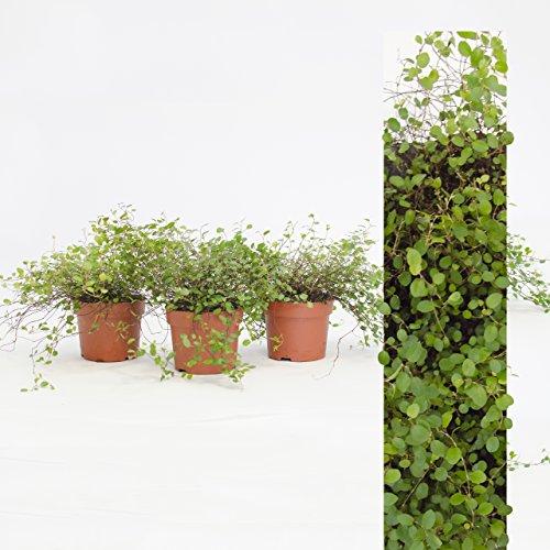 Kosten Halloween (Inter Flower - 3 Pflanze Mühlenbeckia (Muehlenbeckia axillaris) trittfest + winterfest + Teppich +)