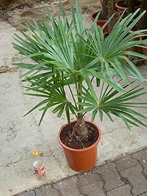 [Palmenlager] - Winterharte Palme -Trachycarpus fortunei- 90 cm - Stamm 20 cm/Chinesische Hanfpalme - 17°C von PalmenLager.de - Du und dein Garten