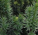 Shop Meeko Taxus Fastigiata 'Robusta' 15cm Topf Größe