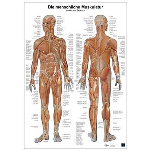 PDF] Die menschliche Muskulatur: Anatomie-Lerntafel KOSTENLOS ...