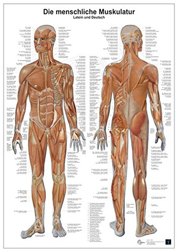 Die menschliche Muskulatur: Anatomie-Lerntafel