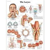 3B Scientific Human Anatomy - Larynx Chart, Laminated Version