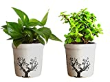 #4: Rolling Nature Combo Of Good Luck Live Money Plant And Jade Plant In White Jar Aroez Ceramic Pot