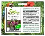 Pezzi - 20x Larix Gmelinii Seme Dahurische Larice Albero Bonsai B2145 - Seeds Plants Shop Samenbank Pfullingen Patrik Ipsa