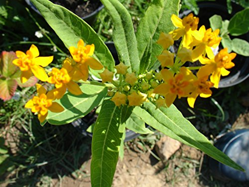 Asclepias currassavica, yellow colour, flower all summer long, 20 graines