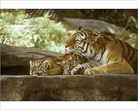 Photographic Print of Siberian Tigers, Mother and cubs