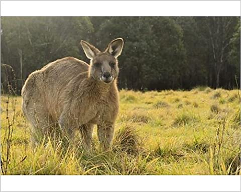 Photographic Print of Eastern grey kangaroo, Geehi, Kosciuszko National Park, New South Wales