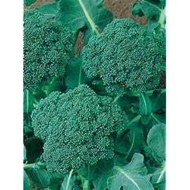 Broccoli-Calabrese-verde 1600 semi