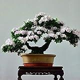 Bloom Green Co. Bonsai Japanische Sakura Bonsai Blume Kirschblüten Kirschbaum Zierpflanze 10pcs / pack Hausgarten Bonsai: 5