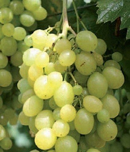 Weinrebe - Weintraube - Vitis vinifera - Unio, ertragreiche Sorte, schnell wüchsig