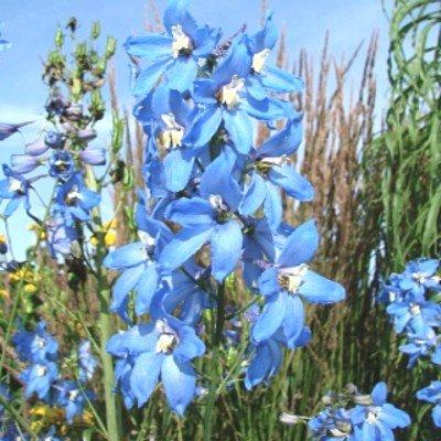 Rittersporn ( Delphinium belladonna 'Cliveden Beauty' )