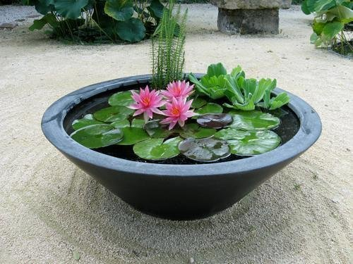 Buy Lotus Flower Seeds Nelumbo Nucifera By National Gardens On