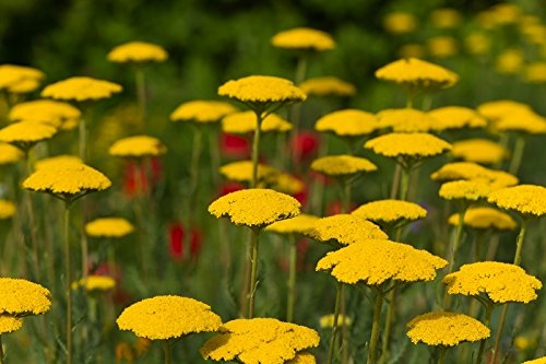 Cloth of Gold, Fernleaf Schafgarbe Samen - Achillea filipendulin