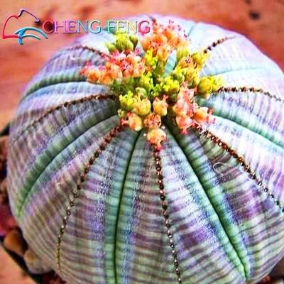 Nuovi semi 2016 !! 10pcs sfera Cactus Semi rari semi Pianta grassa Bonsai Celestial Flower Pot ornamentale Fioriere Flores