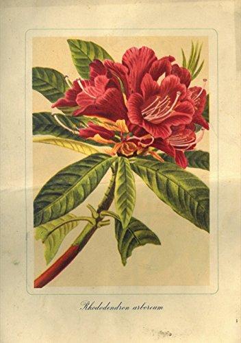 Cartella con quattro stampe a colori : Rhododendrum, Ranunculus, Vernonia.