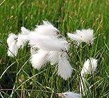 4er-Set im Gratis-Pflanzkorb - Eriophorum vaginatum - winterhart - scheidiges Wollgras, weiß - Wasserpflanzen Wolff