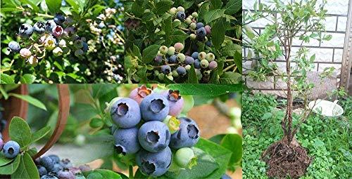 fash-lady-100-pz-rare-arcobaleno-mini-semi-di-giacinto-mini-semi-di-fiori-bonsai-idroponica-giacinto