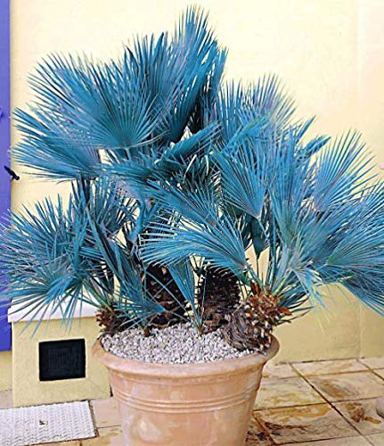Yukio Samenhaus - 100pcs Raritäten Blaue Zwerg-Palme Langlebige Friedenspalme Zimmerpflanze Sagopalme Blumensamen mehrjährig winterhart
