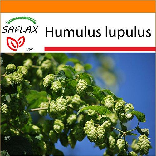 SAFLAX - Garden in the Bag - Heilpflanzen - Echter Hopfen - 50 Samen - Humulus lupulus - Garden In A Bag