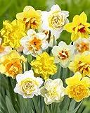 """Narcissus - Narzisse"""" Gefüllte Prachtmischung"""" (25 Blumenzwiebeln)"""