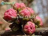 100Prunus Papau Samen, Rehmannia Scheinulme, Getopfte Pflanzen, Blühende Pflaume Baum Tree Blume Flower Samen, Blühende Pflanzen
