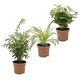 Indoor-Trio, Kaffe-Pflanze, Grünlilie und Zimmerpalme