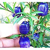Fash Lady 4: Zwerg Bonsai Baum 50 Samen Pick Köstliche Früchte In Ihrem Garten Einfach-wachsen Bonsai FruitFree Versand 4