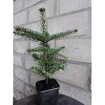 Weihnachtsbaum Kaufen Pforzheim.5 X Nordmanntanne Im Topf Gewachsen 5 Jährig Weihnachtsbaum Mit