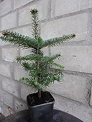 5 Stück Nordmanntanne Weihnachtsbaum - (Abies Nordmanniana) Topfware 15-25 Cm, 4 Jährig