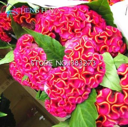Hahnenkamm Samen 100 Partikel / Beutel Misch DIY Hausgarten-Blumen-Pflanzen, Rot, Gelb Farbe Seltene Blumensamen Sementes De Flores *