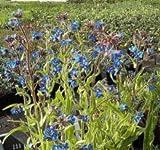 Ochsenzunge Dropmore - Anchusa azurea