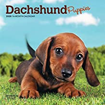 Dachshund Puppies 2020 Mini Wall Calendar
